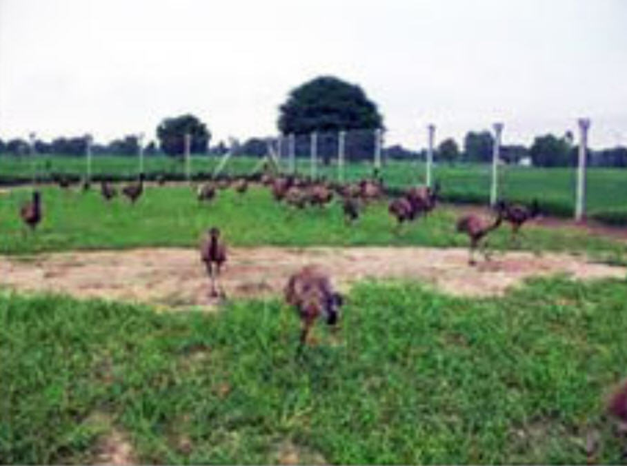 Buy EMU Farming And Management