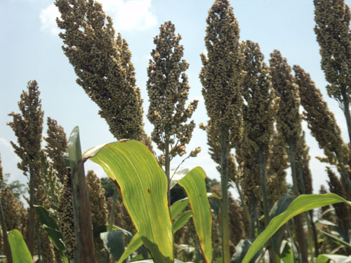 Buy Sorghum Seeds