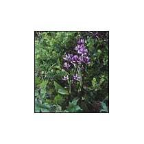 Buy Andrographis Paniculata