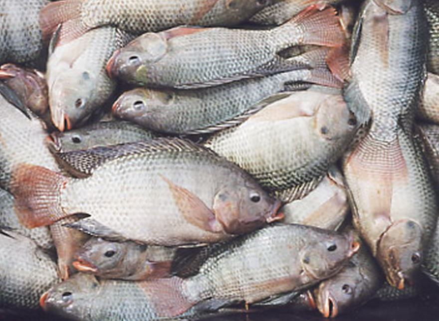 Buy Tilapia Fishes