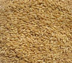 Buy Wheat Cereals Seed