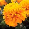 Buy Marigold flower