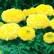 Buy Shree Yellow Marigold Seeds