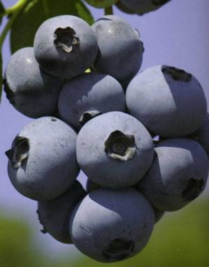 Buy Blueberry