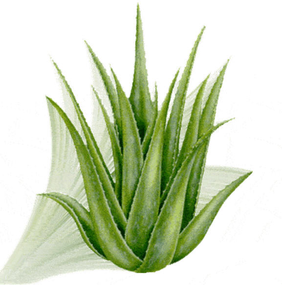 Buy Aloe Barbadensis