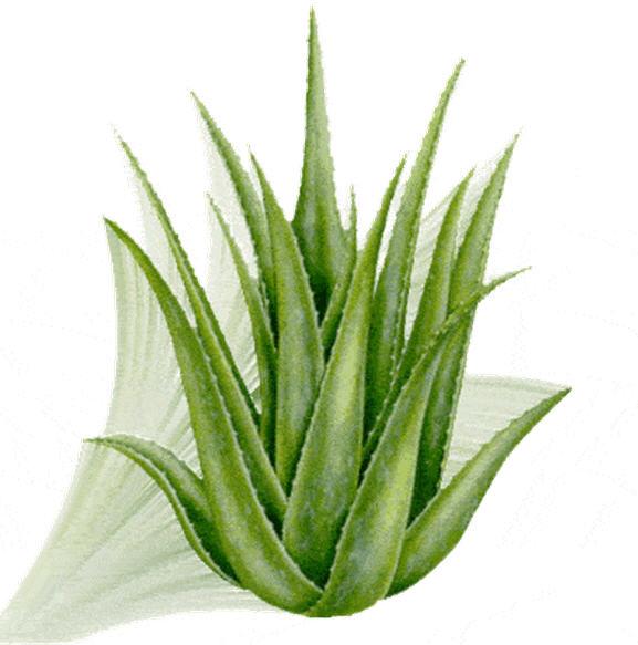 Buy Aloe Barbadensis