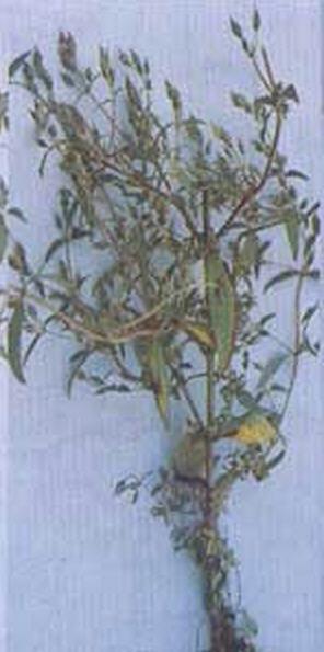 Buy Garlic Oleoresin Water Soluble 5%