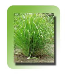 Buy Lemongrass Oil
