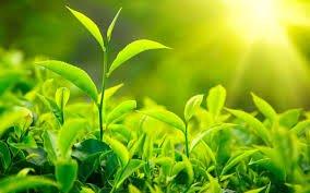 Buy Assam tea ,green tea ,orthodox tea