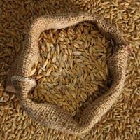 Buy Barley Seeds