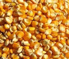 Buy Yellow Maize Seeds