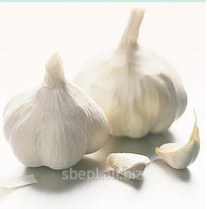 Allium sativium Oil