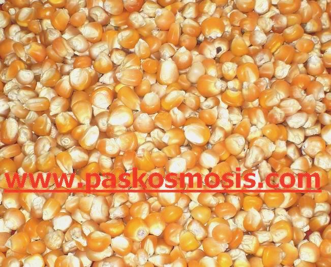 Buy Yellow maize
