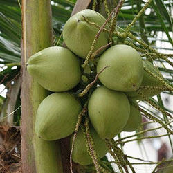 Buy Young Coconuts