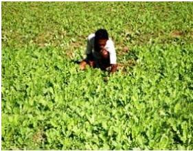 Buy Guiding for Medicinal Plantation