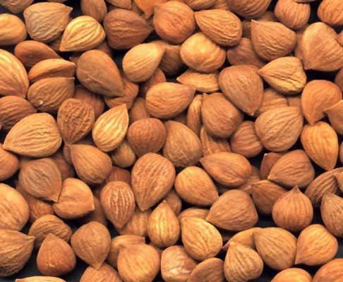 Buy Raw Bitter Apricot Seeds Kernels