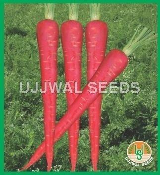 Buy Carrot Seed