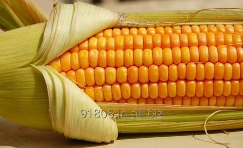 Buy Fresh Yellow Corn