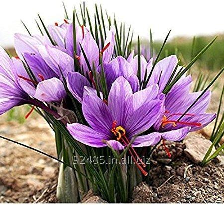 Buy Crocus Sativus Saffron Bulbs