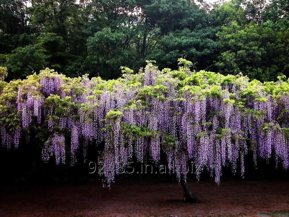 Buy Wisteria Sinensis Plant