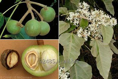 Buy Aleurites Moluccana Candle Nut Seeds For Export
