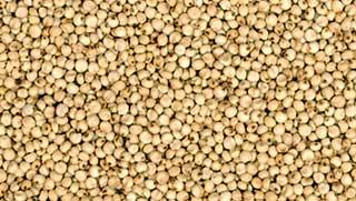 Buy Jowar Seeds