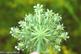 Buy Celery Seed (Apium graveolens)