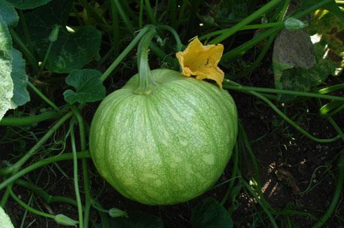 Buy Pumpkin seeds - BSS-718
