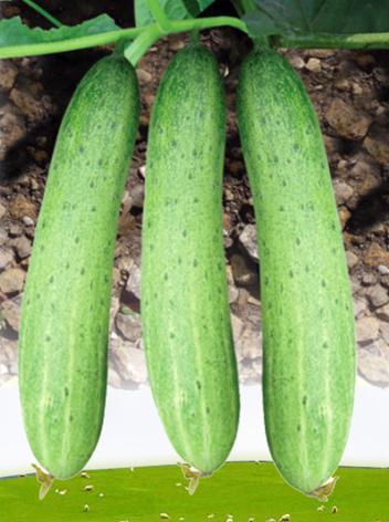 Buy Cucumber - Malav (No. 243)