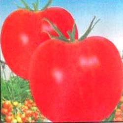 Buy Tomato hybrid seeds