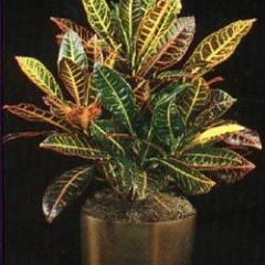 Purgative Croton