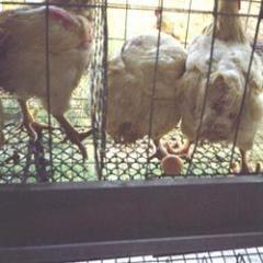 Poultry Net