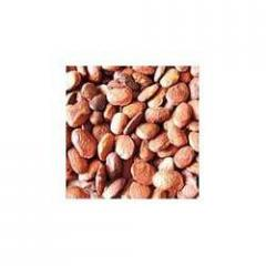 High Productivity Pongamia Seeds For Cultivation