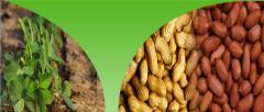 Bold Type HPS Groundnut Kernels (Peanuts)