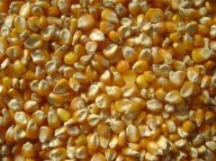 Yellow Maiz Seeds