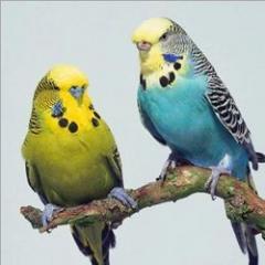 Budgeriger Birds
