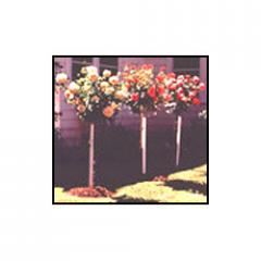 Tree Roses Plants