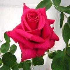 Gladiator Rose