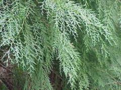 Cypress Leaves
