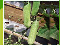 Seeds of cucumber