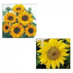 Sunflower (Hellanthus Annuus)