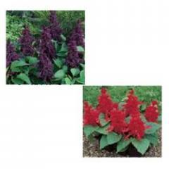 Salvia (Salvia Splendens)