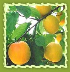 Apricot, Dried Apricot Fruit, Apricot Seeds