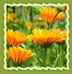 Calendula, Calendula Petals, Pot Marigold and
