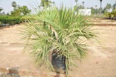Butia Capitata Palm