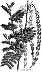 Herbs - Acacia arabica