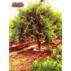 Amala 01