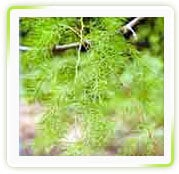 Asparagus Racemosus Extracts