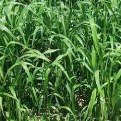 Hybrid Sorghum Sudangrass