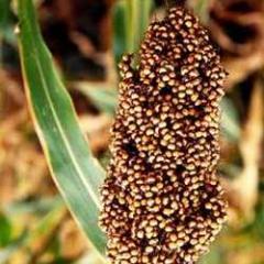 Herbal Sorghum